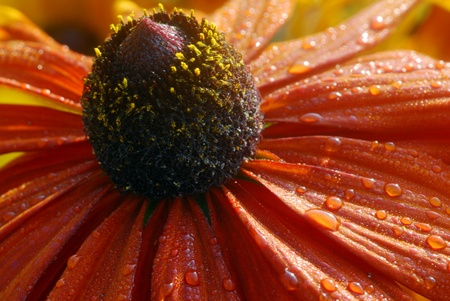 macro of orange yellow rudbeckia Flower also called coneflower photo