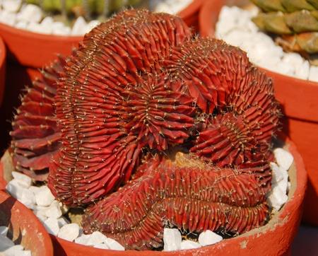 rust red: detalle de una planta de Cactus Espinosa roja �xida