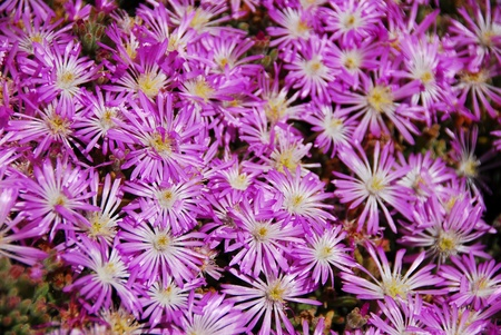 closeup of purple pink succulent flowers in bloom