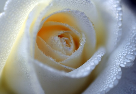 an isolated shot of White Rose Flower Stock Photo