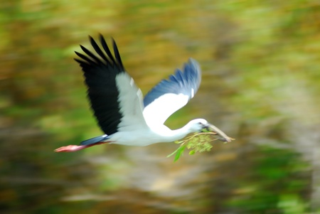 isolated shot of Black white openbill stork bird photo