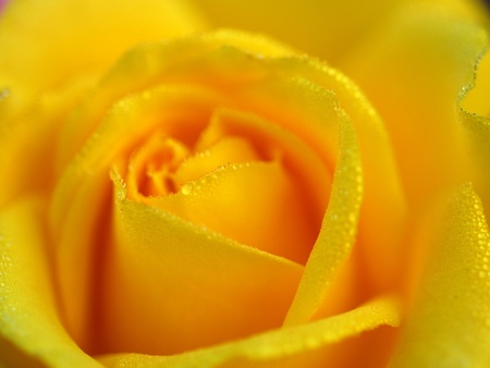 isolated shot of a yellow rose flower photo