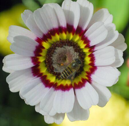 Honigbiene Auf Weißem Venidium Fastuosum Zulu Prince Blume Daisy Mit ...