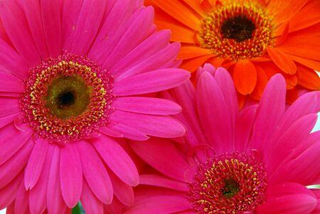 closeup of pink orange gerbera daisy flower photo