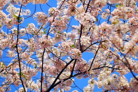 Cherry blossom flower tree on a sky background photo