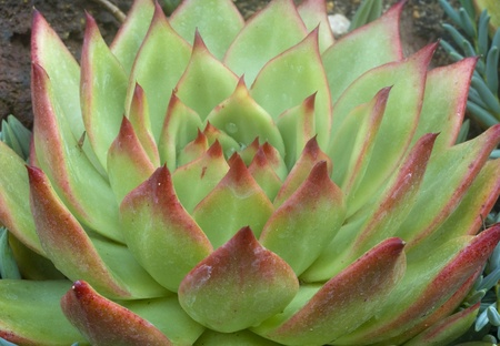 Echeveria Succulent Plant in bright green and brown color photo