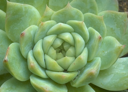 Echeveria Succulent Plant in bright green color and symmetrical in shape photo