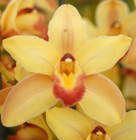 yellow red evergreen cymbidium orchid flower in bloom