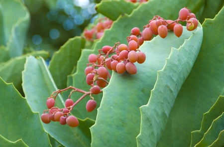 fleshy: green succulent plant with fleshy leaves and red fruit