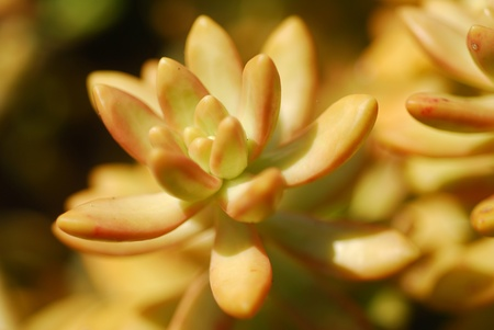 fleshy: sedum succulent plant with brown and yellow fleshy leaves
