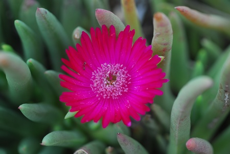 fleshy: pink flower on succulent plant with green fleshy leaves Stock Photo