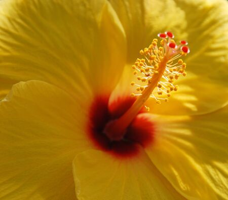 Red Yellow Hibiscus flower in bloom in spring photo