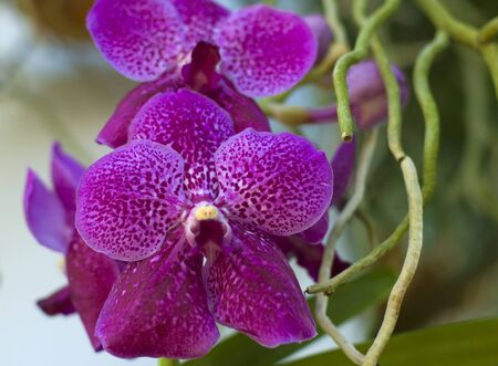 Vanda Pink white dotted orchid flower in bloom in spring Stock Photo - 13128070