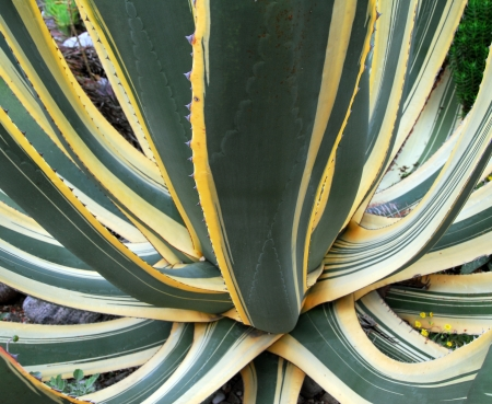 Agave Succulent Plant in bright green and yellow color Stok Fotoğraf