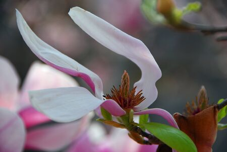 magnolia soulangeana: white pink saucer Magnolia soulangeana flower blooming in spring Stock Photo