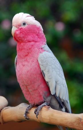 Eolophus roseicapilla Pink and Grey Galah Rose breasted Cockatoo parrot bird