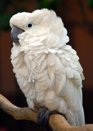 White Moluccan Cockatoo Cacatua moluccensis is a popular pet bird photo