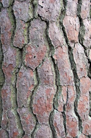 closeup of brown Pine Tree Bark Texture Background photo