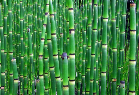 equisetum: Horsetail Equisetum plant with dark green segmented stems also called scouring rush Stock Photo