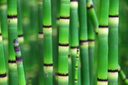Horsetail Equisetum plant with dark green segmented stems also called scouring rush Imagens
