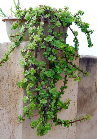fleshy: succulent plant with small green fleshy leaves