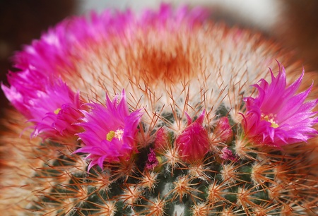 thorns  sharp: green cactus plant with sharp thorns and pink flowers