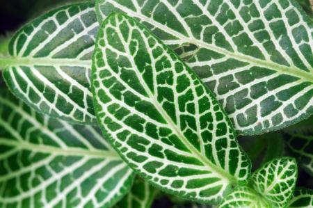 Dark Green Leaves of Fittonia Acanthaceae ook wel Nerve Plant of mozaïek fabriek Stockfoto - 15532049