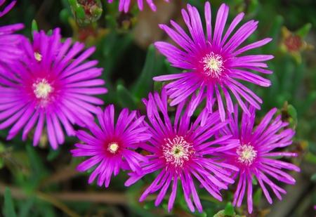 charnu: fleur rose sur plante succulente avec des feuilles vertes charnues