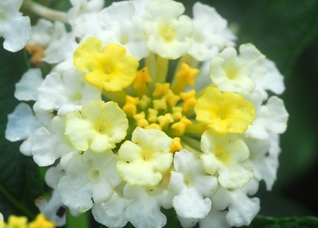 umbel: cluster of white lantana flower umbel in bloom