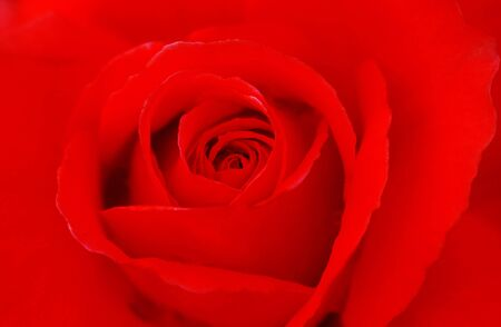 isolated closeup of a Red Rose Flower photo