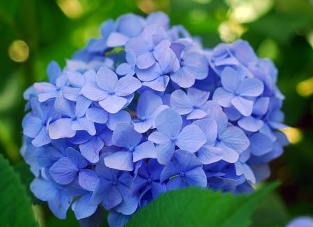 Blue Hydrangea Hortensia flower in bloom in spring
