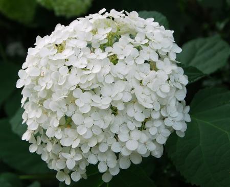 White Hydrangea Hortensia flower cluster in bloom in spring