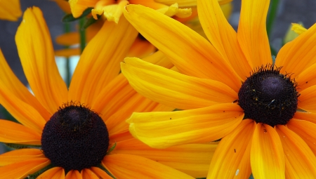 eyed: yellow orange red Black eyed Susan Flower also called Rudbeckia hirta Stock Photo