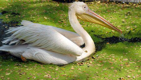 migratory: closeup of white migratory pelican bird in water Stock Photo