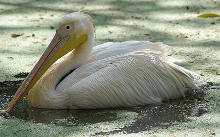 closeup of white migratory pelican bird in water 版權商用圖片
