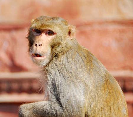 occhi sbarrati: un animale scimmia guardava con gli occhi spalancati