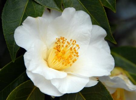 camellia: bianco giallo camelia fiore in fiore in primavera