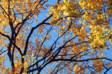 Golden Yellow Fall Foliage colors of Maple tree in Autumn Stock Photo - 19274417