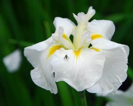 white japanese water iris ensata flower in bloom in spring Reklamní fotografie