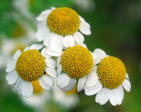 white Yellow chamomile herb in bloom in spring Banco de Imagens