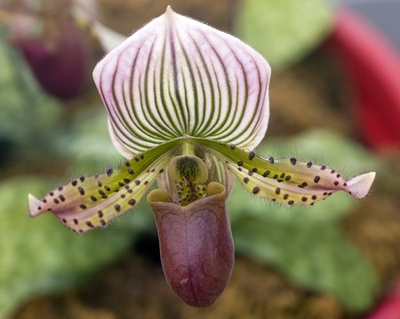 Paphiopedilum green white orchid flower in bloom in spring photo