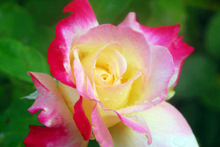 Fresh Pink Yellow Rose Flower with drops of water Stock Photo