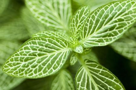 Dark Green Leaves van Fittonia Acanthaceae ook wel Nerve Plant of mozaïek fabriek Stockfoto - 19274355