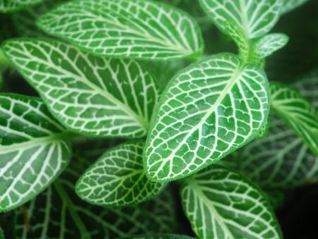 Dark Green Leaves van Fittonia Acanthaceae ook wel Nerve Plant of mozaïek fabriek