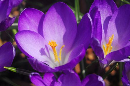 purple yellow crocus flower in bloom in spring Reklamní fotografie - 19274227