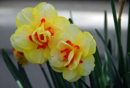 Daffodil Narcissus yellow orange flower in bloom in spring
