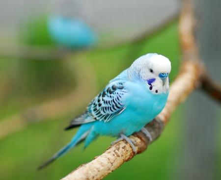 budgie: blue budgie parrot pet bird also known as Budgerigar Melopsittacus Stock Photo