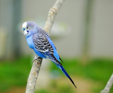blue budgie parrot pet bird also known as Budgerigar Melopsittacus Stockfoto