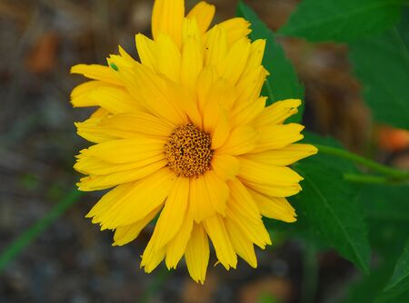 tickseed: yellow Tickseed Coreopsis verticillata flower in bloom in early spring