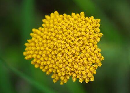 yarrow: yellow Yarrow Achillea flower in bloom in early spring Stock Photo